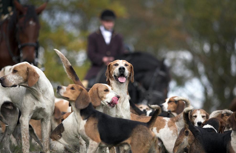Meute de chiens de chasse à courre