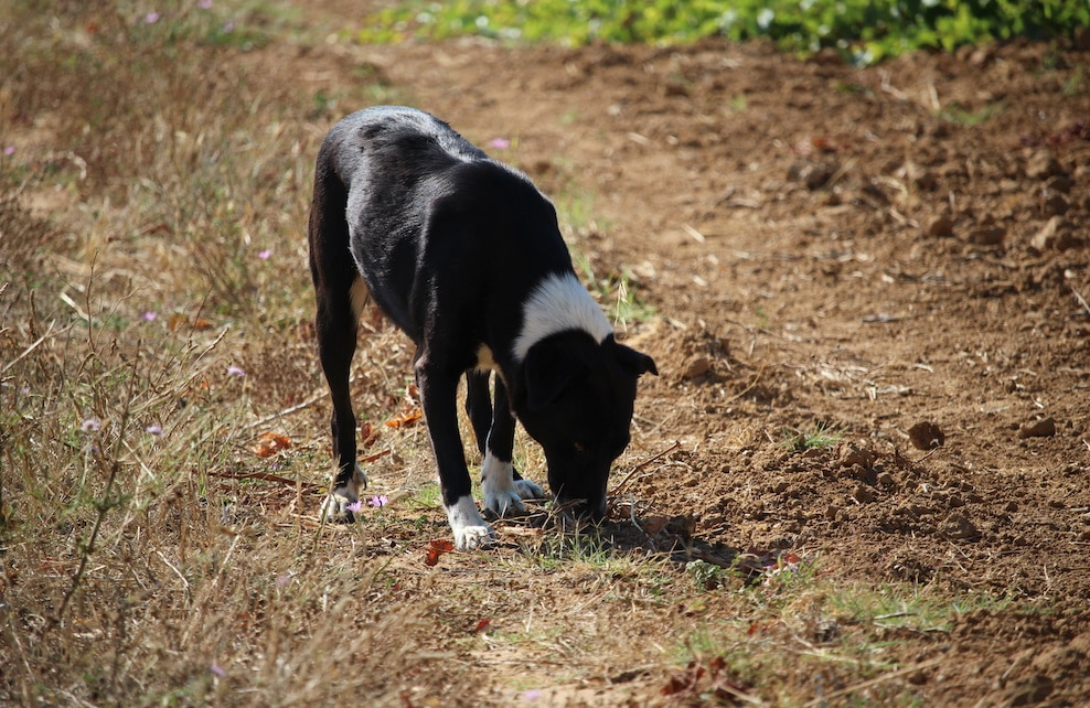 Chien truffier reniflant le sol