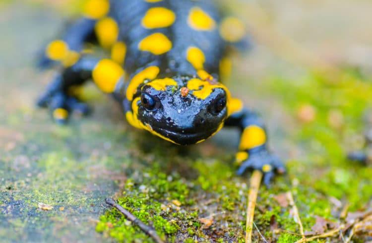 Salamandre corse sur un rocher couvert de mousse