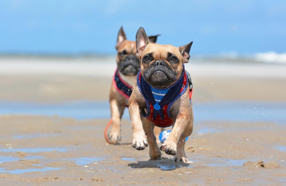 Deux bouledogues français courant sur la plage avec leur harnais