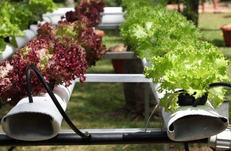 Culture hors sol de salades