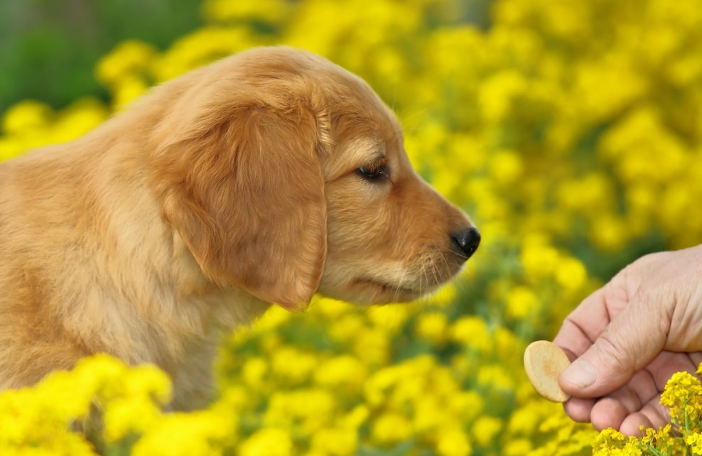 Chiot reniflant une friandise sur fond de fleurs jaunes