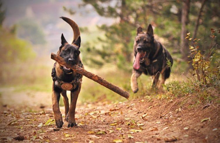 Bergers allemands jouant avec un morceau de bois