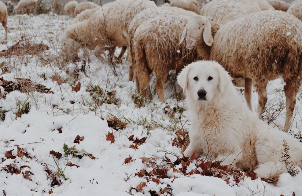 Chien de berger à côté d'un troupeau de moutons
