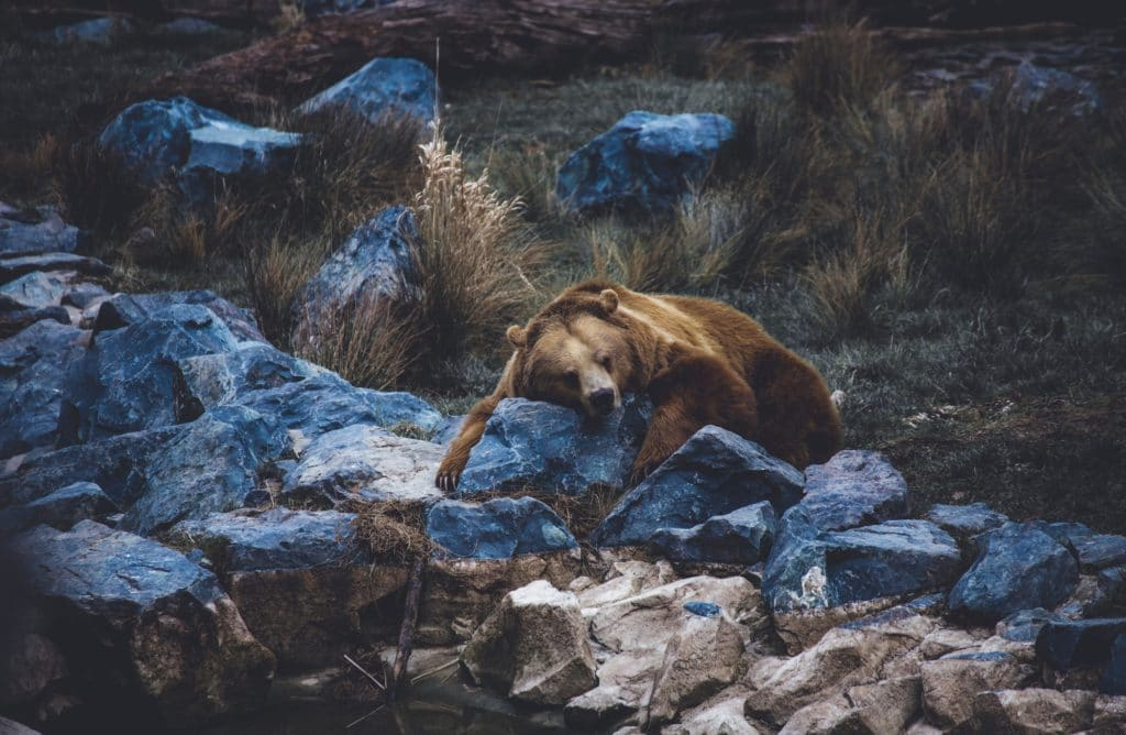 Les mystères de l'hibernation chez les ours