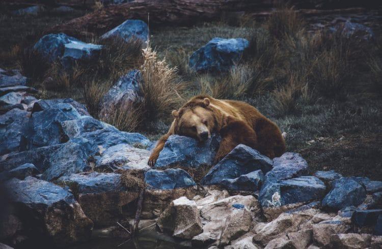 Ours brun faisant une sieste au milieu d'herbes et de rochers