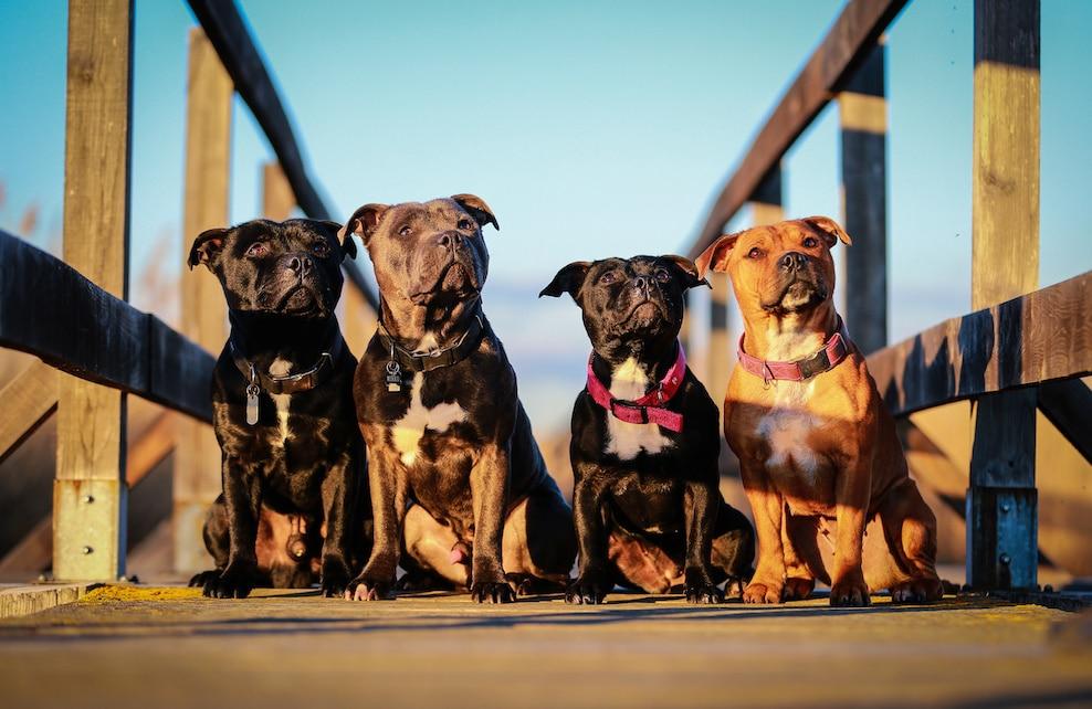 Quatre Staffordshire Bull Terrier sur un ponton en bois
