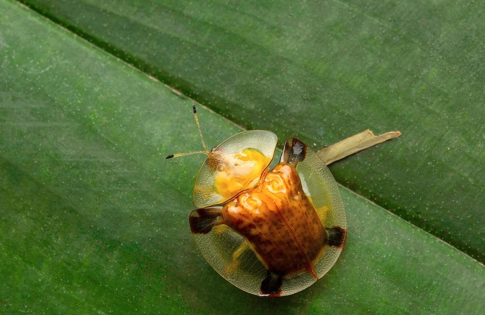 Coccinelle de verre dorée sur une feuille