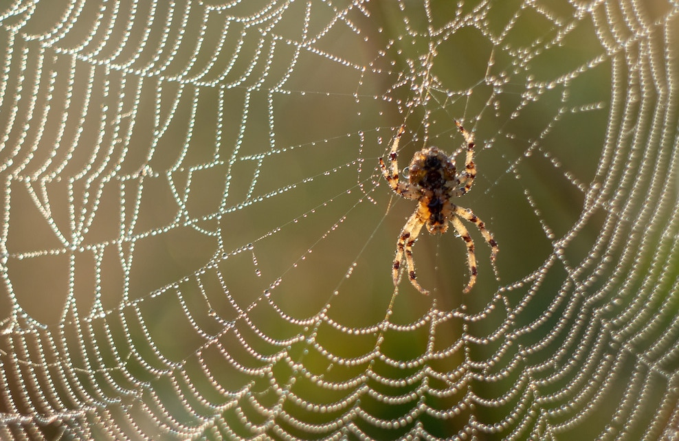 Araignée cotinusa sur sa toile
