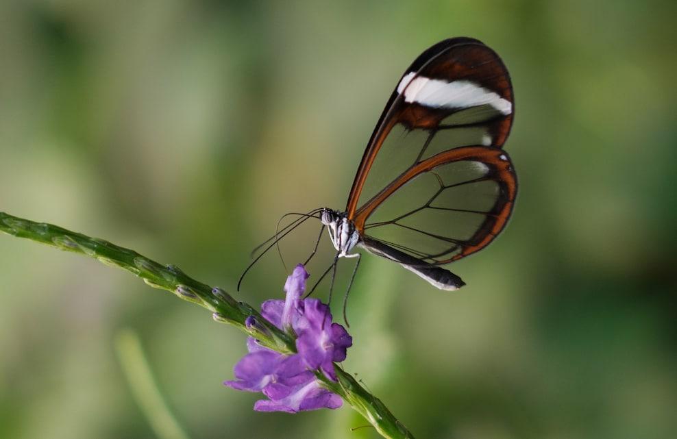 Papillon Greta Oto butinant une fleur