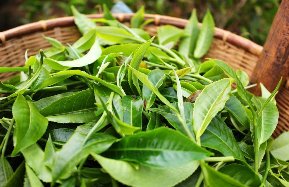 Feuilles fraiches d'arbre à thé
