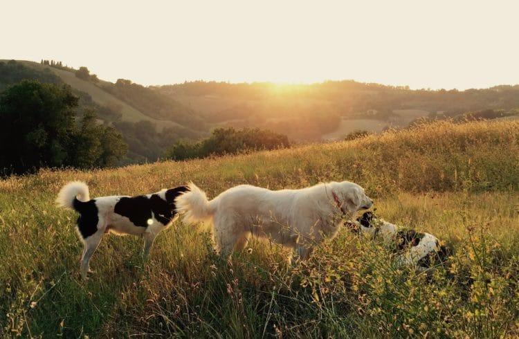 Trois chiens dans les champs