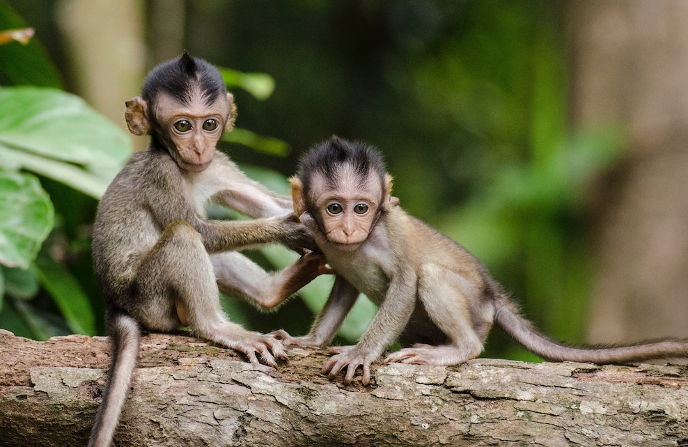 Deux bébés singes sur une branche
