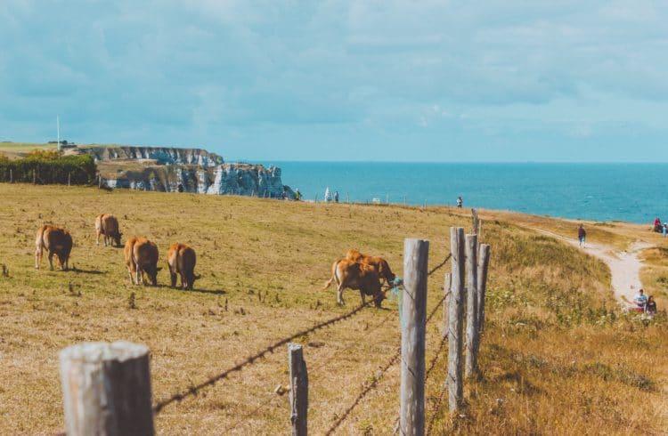 Falaises avec un champs et des vaches laitières