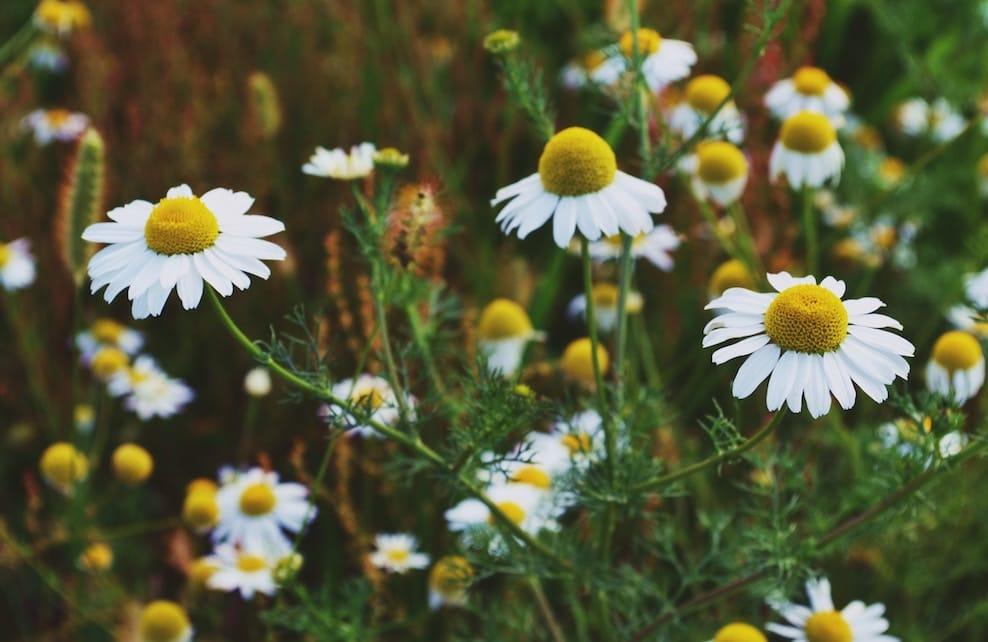 Fleurs de camomille dans un champs