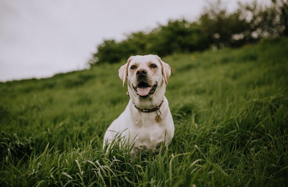 Labrador de robe beige dans un jardin