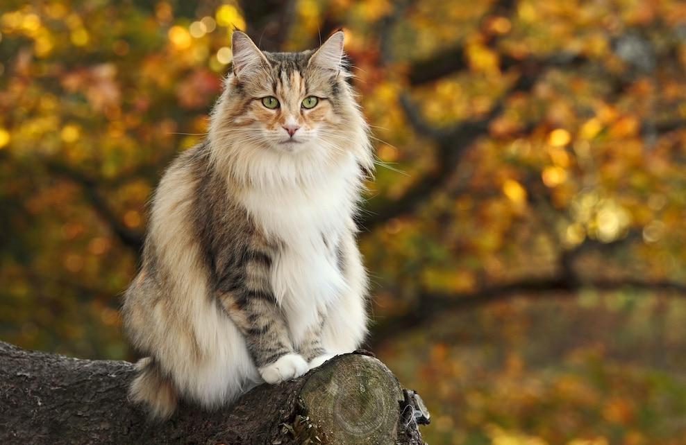 Chat Norvégien assis sur un rondin de bois