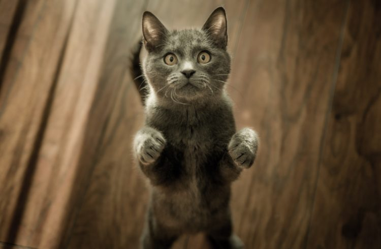 Chat chartreux gris debout sur ses pattes arrières