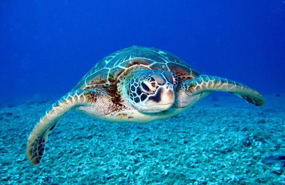Tortue verte dans l'océan