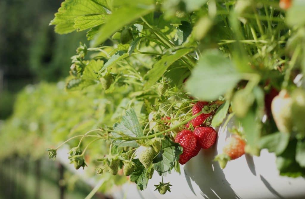 Le compagnonnage ou l'art d'associer les plantes et les légumes au jardin