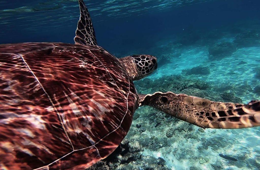 Top 8 des espèces préservées de tortues à venir observer