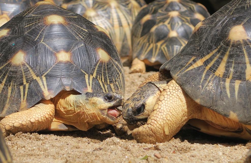 Deux tortues étoilées