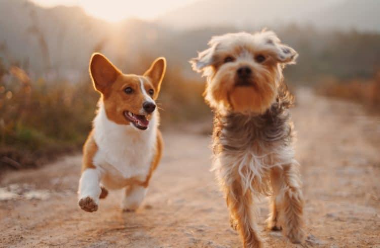 Deux chiens en train de courrir
