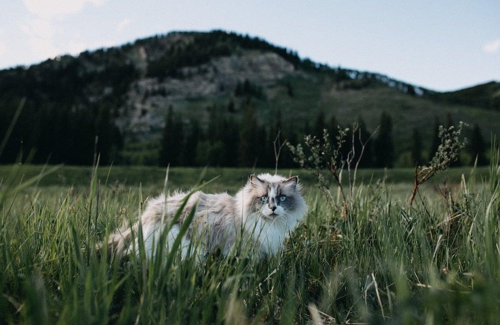 Chat de race Ragdoll dans des hautes herbes