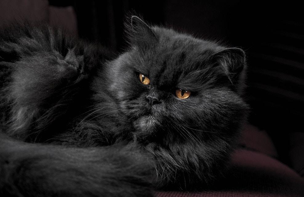 Chat persan noir allongé