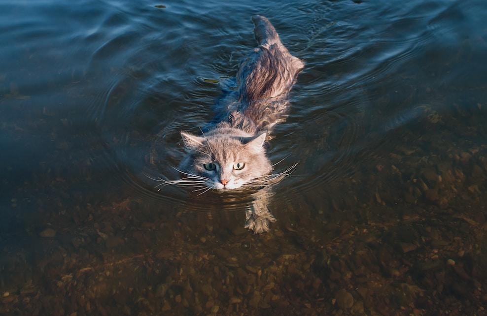 Chat en train de nager