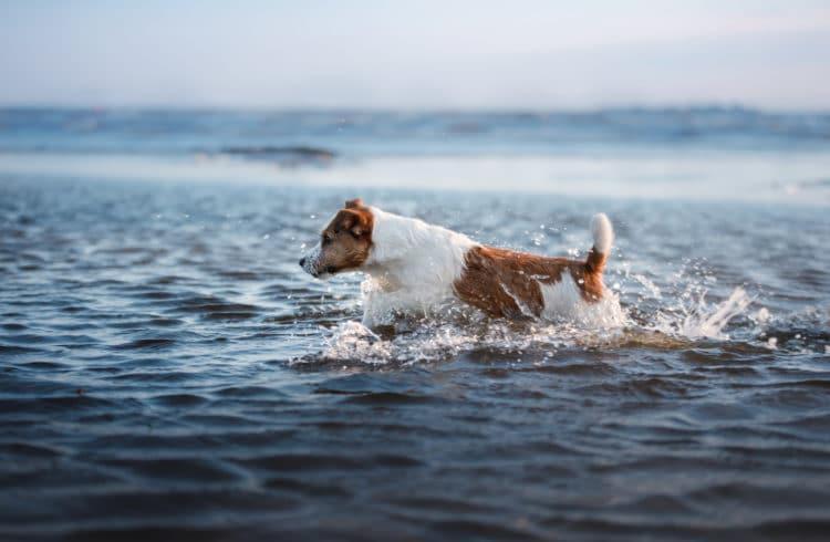 Petit chien sautant dans les vagues