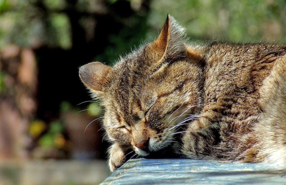 Chat en pleine sieste