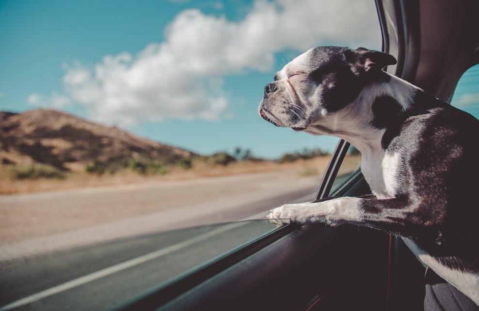 Chien à la fenêtre d'une voiture
