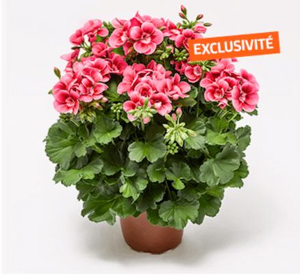 Geranium zonale 'Pretty Little'