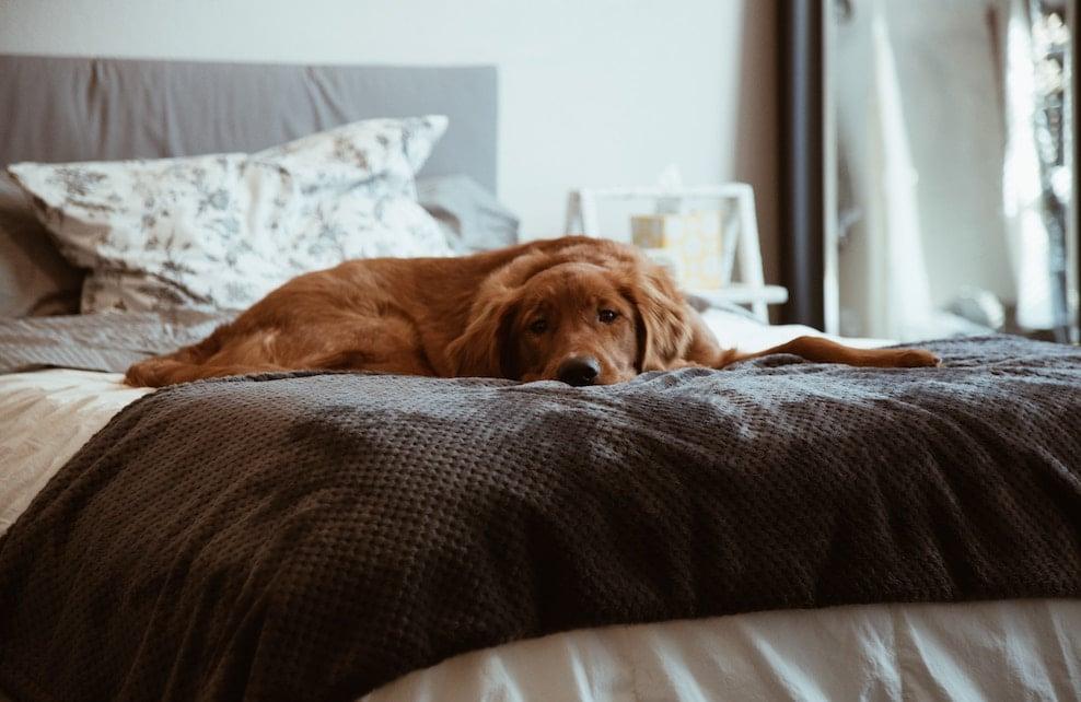 Chien sur un lit