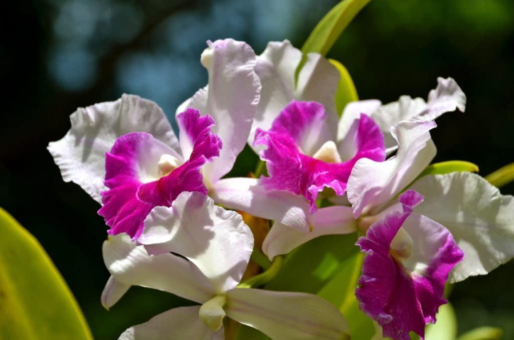 Fleurs cattleya