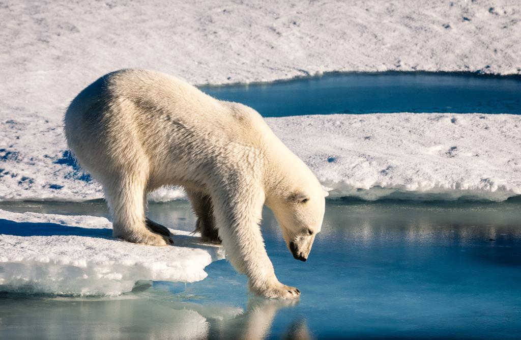 8 espèces d'animaux sauvages menacées par le réchauffement climatique