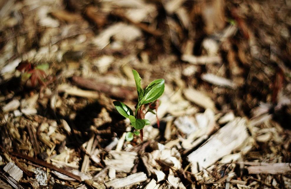 Plant entouré de paillage
