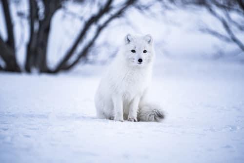 Renard blanc dans la neige
