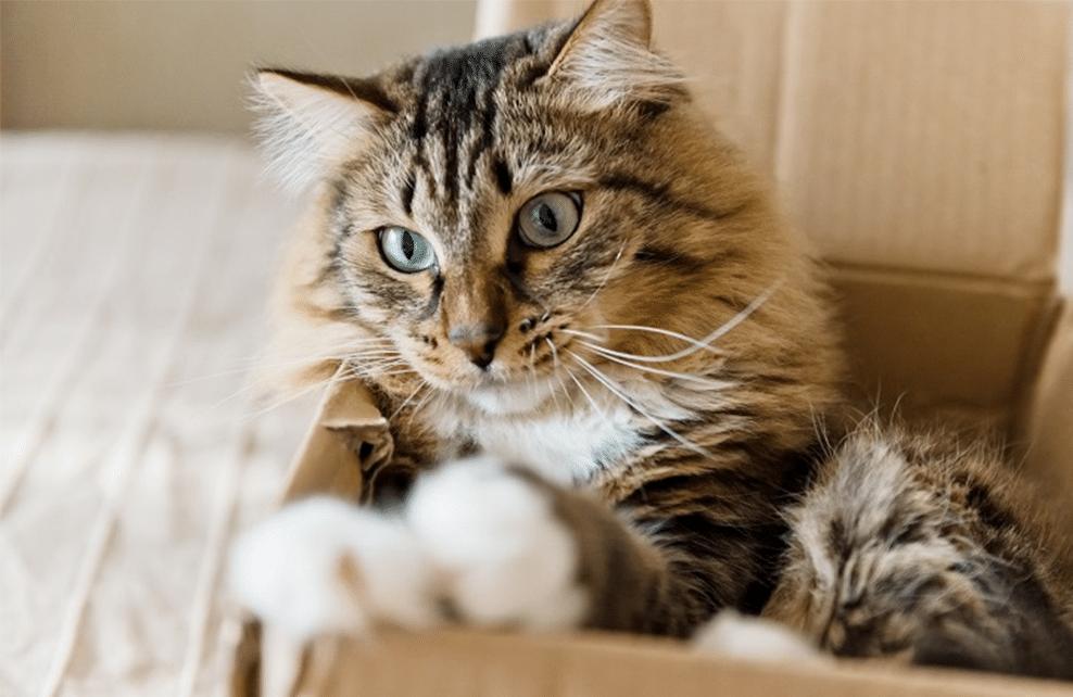 chat dans boite en carton