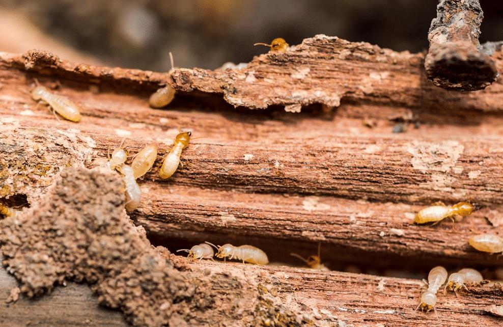 termite dans bois
