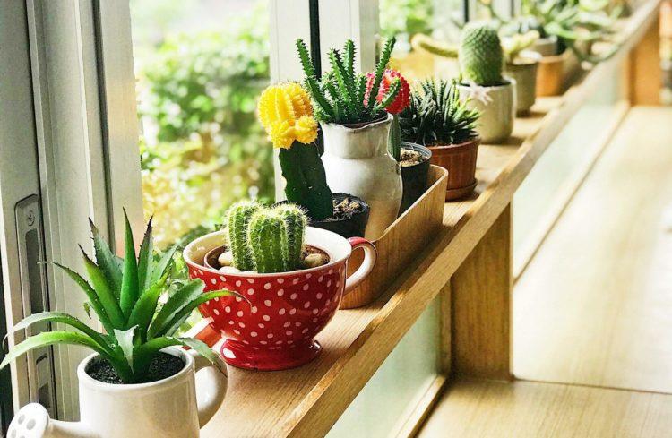 des cactus sur une étagère