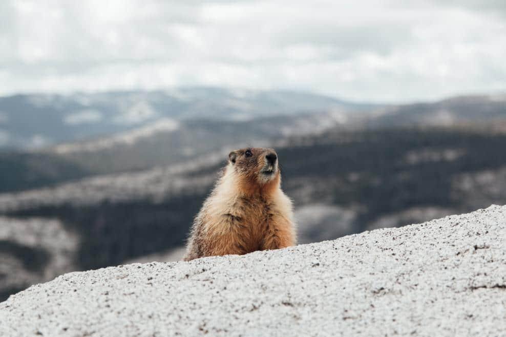 Une marmotte sur un rocher