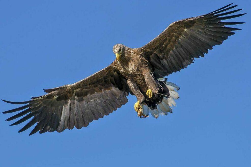Un aigle qui vole