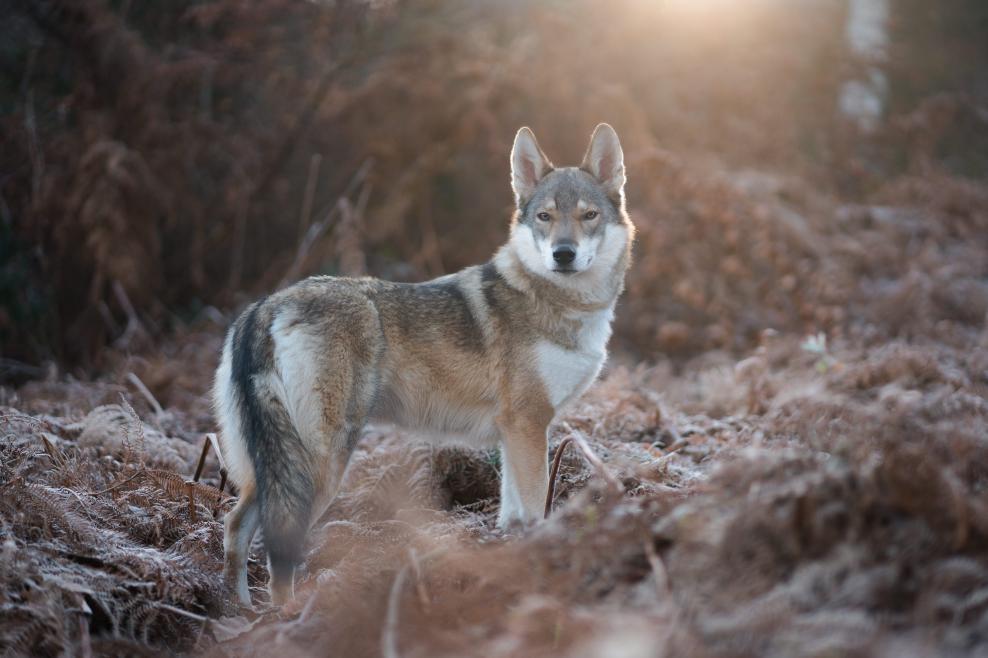 Un loup dans une prairie