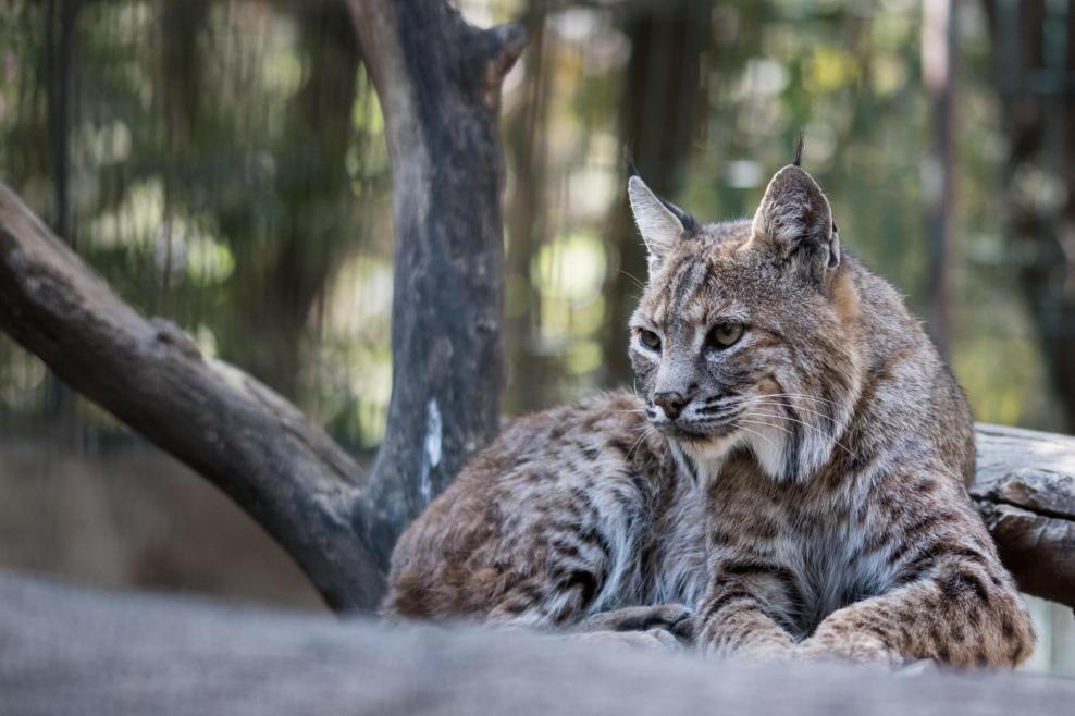 Un lynx sur un arbre