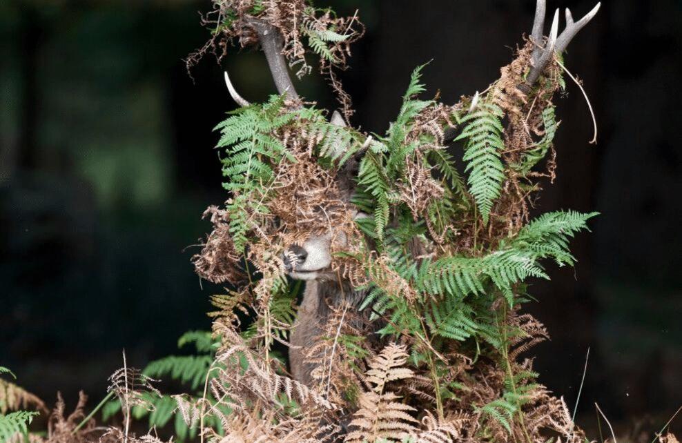 Un cerf caché sous des branches