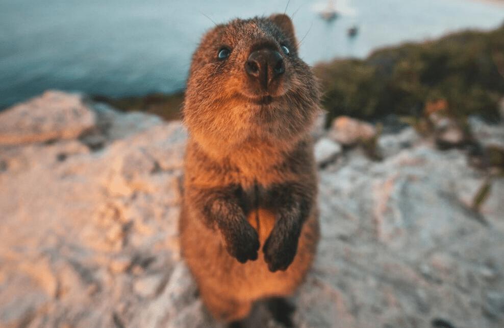 Une marmotte devant l'objectif