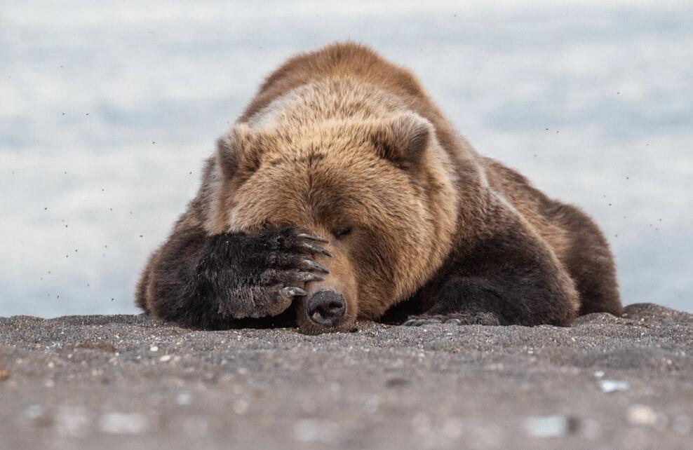 Un ours dépité