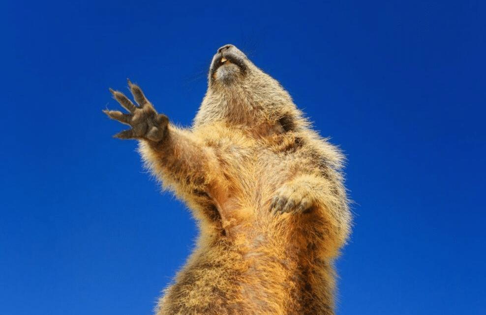 Une marmotte qui danse